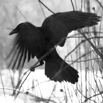 Quelle_www.piqs.de_Fotograf_Barbara_Willi_Titel_black_bird